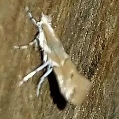Suzuki Prom.. Moth?! *unsure bcoz of size. - Cameraria