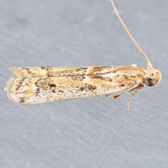 5916  - Ancylosis morrisonella