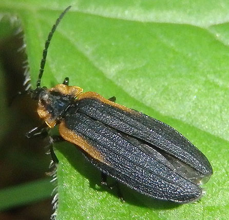 Net-winged Beetle - Lyconotus lateralis