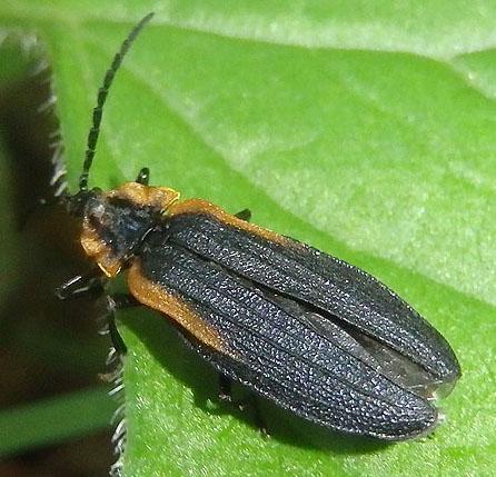 Net-winged Beetle - Lyconotus lateralis