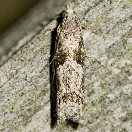 Tortricid Moth - Catastega aceriella