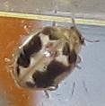 Which Psyllobora? - Psyllobora renifer
