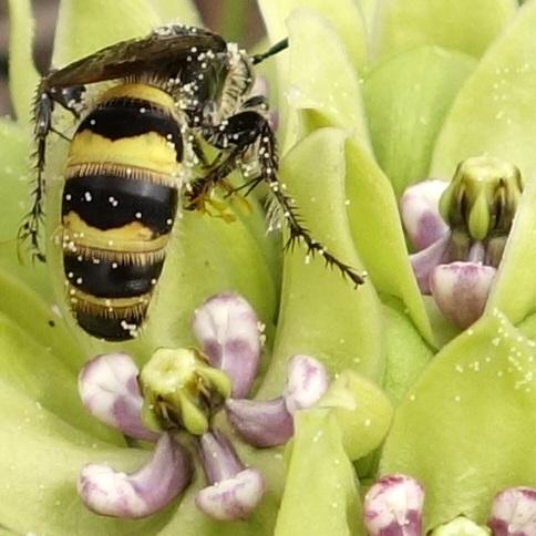 Campsomeris plumipes (Drury) - Campsomeris plumipes - female