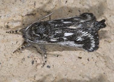 Hypopta palmata - male