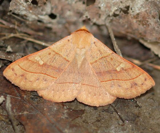 Litter moth - Panopoda rufimargo