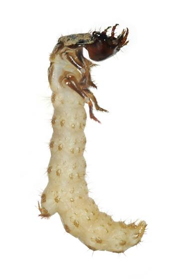 Larva - Cicindelidia rufiventris