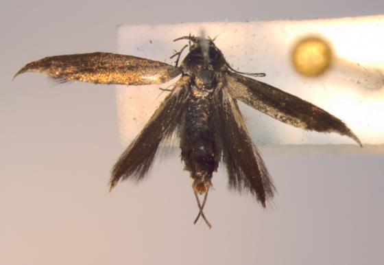 Scythrididae on Thistle - Rhamphura