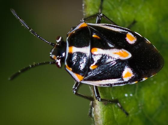 Stink Bug, Bagrada hilaris - Bagrada hilaris