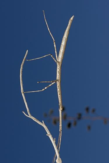 walkingstick - Diapheromera arizonensis - female