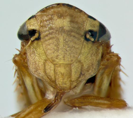 Cicadellidae, face - Aphrodes