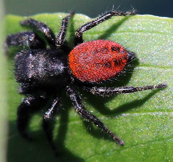 Red Bodied Jumping Spider - Phidippus johnsoni