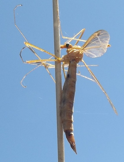 What happened to this crane fly? - female