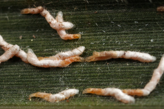 scale insects - Kuwanaspis