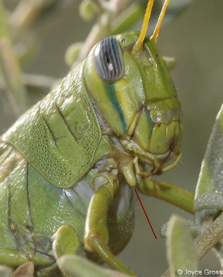 Schistocerca shoshone - Green Bird Grasshopper - Schistocerca shoshone - female