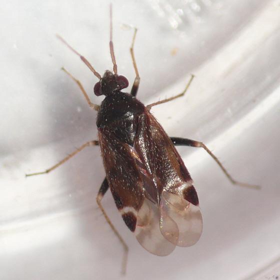 Mirid - Psallovius piceicola - male