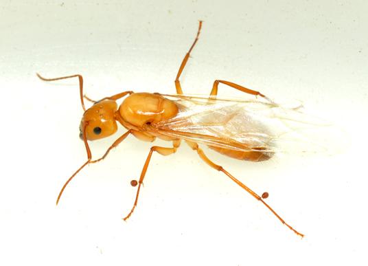 Parasites on queen ant - Camponotus castaneus