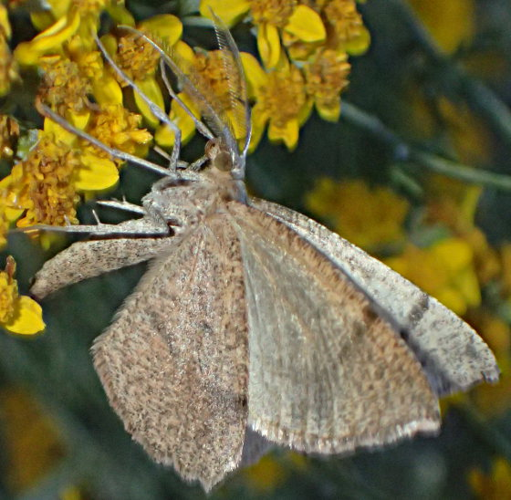 Unknown moth? - Sericosema juturnaria - male