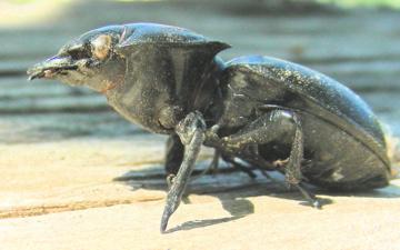 Stagg Beetle - Pasimachus californicus