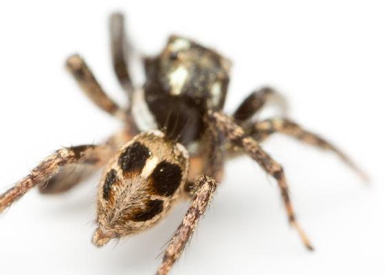 Jumper - Anasaitis canosa