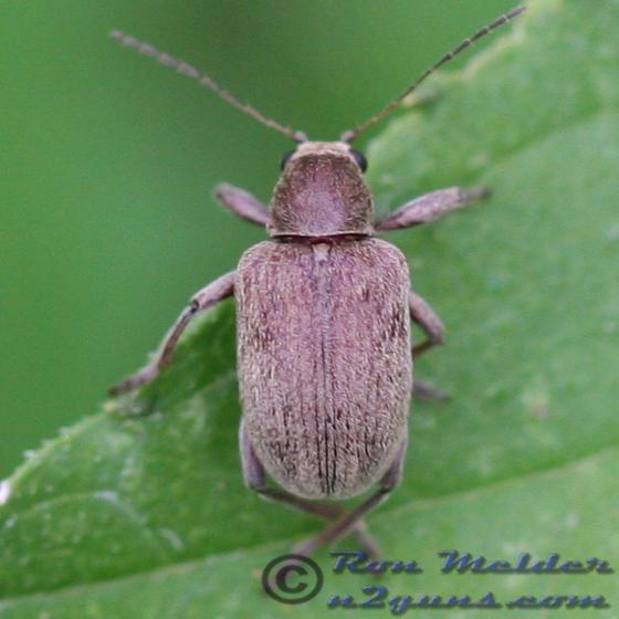 2008-05-31 Grape Rootworm Beetle - Fidia viticida