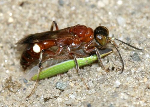 Sphecid wasp, Alysson sp. - Alysson melleus - female