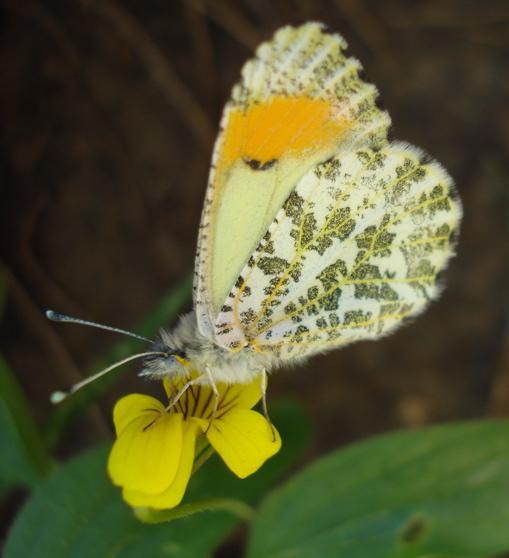 Sara Orange Tip Butterfly - Anthocharis julia - female