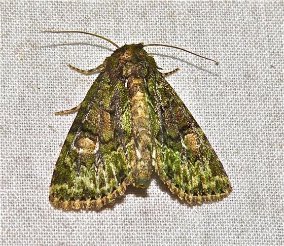 Spotted Phosphila - Phosphila miselioides