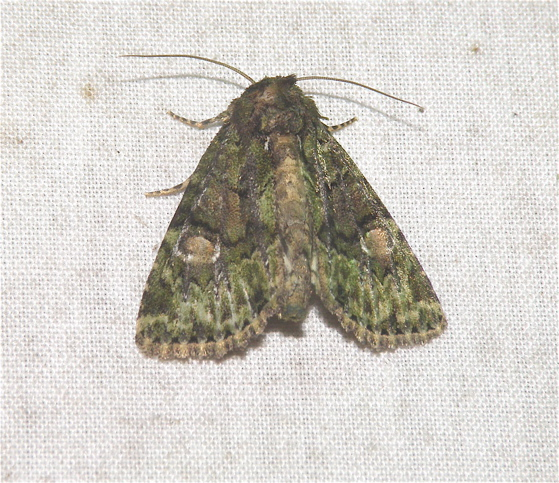 Green Moth - Phosphila miselioides