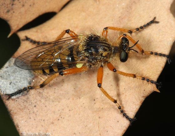 colorful fly - Callinicus pictitarsis
