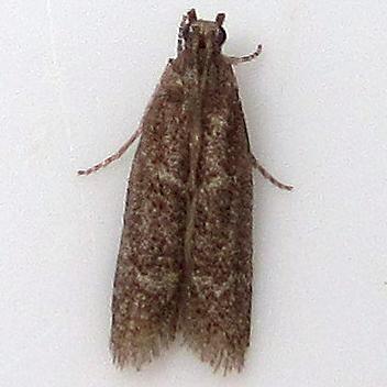 Red-gray horns stripes - Cabnia myronella