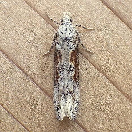 Gelechiidae: Gnorimoschema - Gnorimoschema