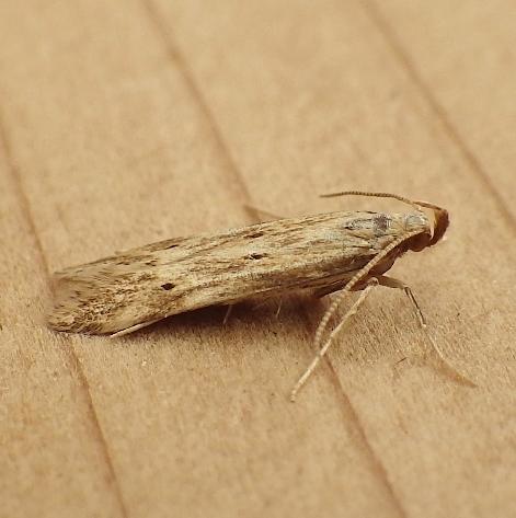 Gelechiidae: Metzneria lappella - Metzneria lappella