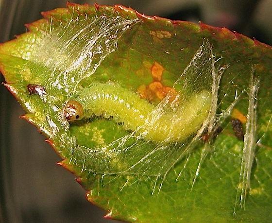 Sawfly larva - Cladius difformis