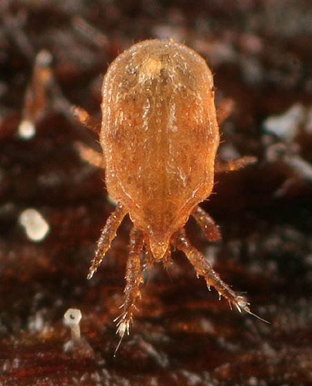 Mite ID - Dinychus