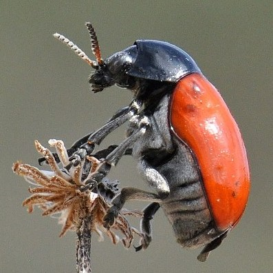 unknown beetle - Urodera dilaticollis