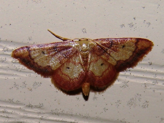 Red-bordered Wave Moth? - Idaea demissaria