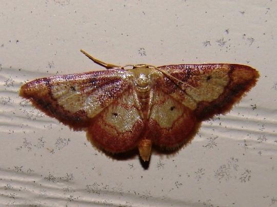 Red-bordered Wave Moth? - Idaea demissaria