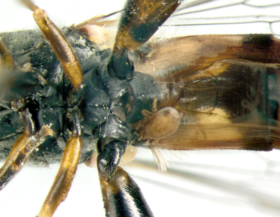 Syrphidae, ventral - Syritta pipiens