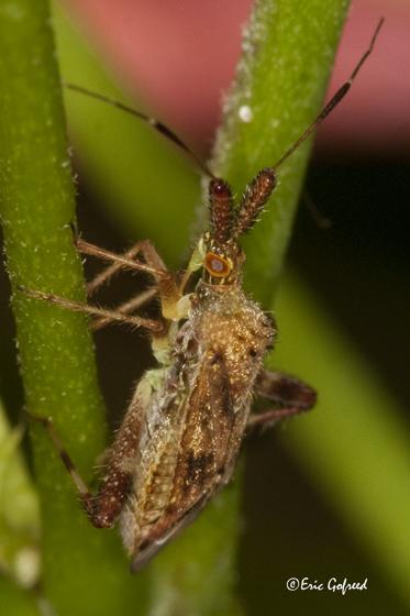 Plant Bug - Neurocolpus