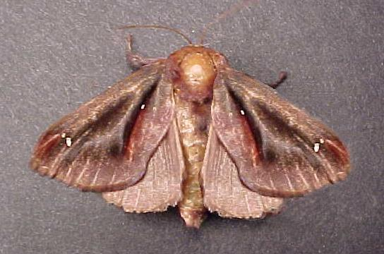 Colorful Moth - Acharia stimulea