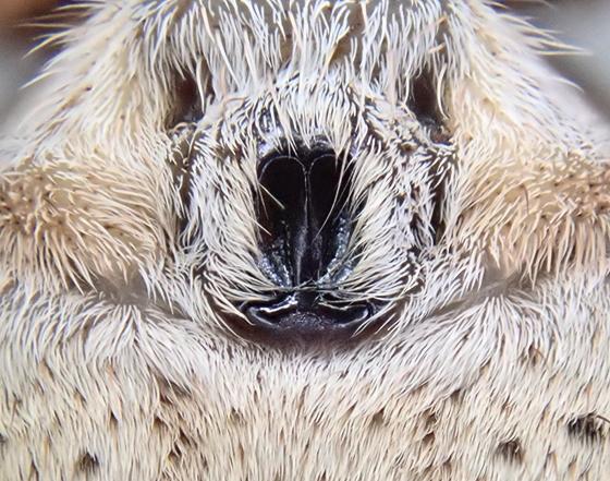 Rabidosa rabida - female