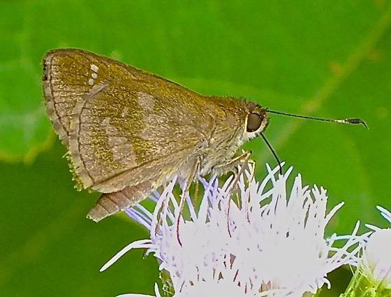 Fawn-spotted Skipper - Cymaenes trebius