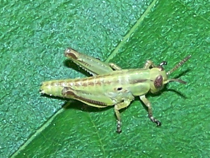 Melanoplus bivittatus