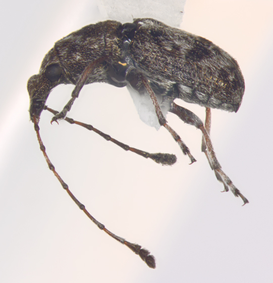 Anthribidae, lateral - Allandrus bifasciatus - male