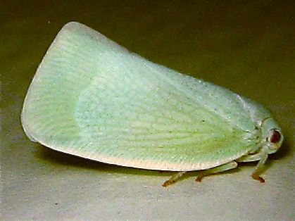 Northern Flatid Planthopper (Anormenis chloris) - Flatormenis proxima