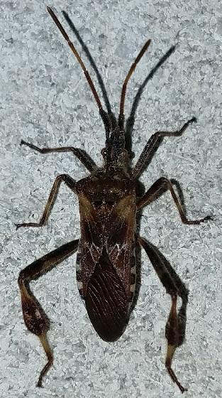 Leptoglossus occidentalis (Western Conifer Seed Bug) - Leptoglossus occidentalis