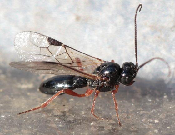 wasp - Alysia