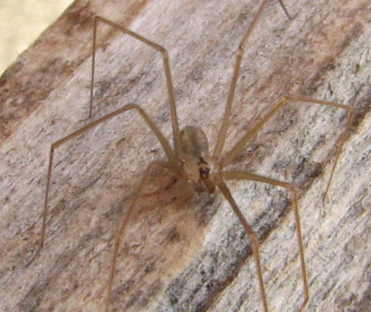 Cellar Spider In The Family Pholcidae