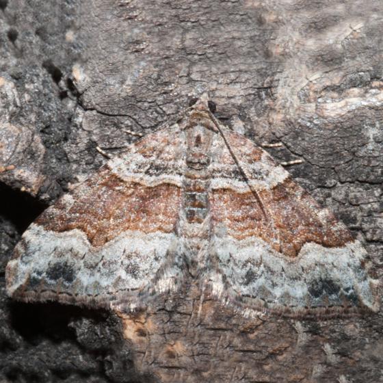 Xanthorhoe ferrugata - female