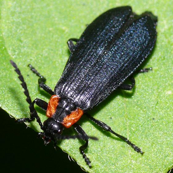 Beetle - Calochromus perfacetus